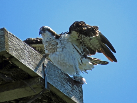 Papa osprey back with a fish