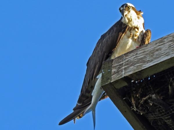 papa osprey eating big fish at sunrise