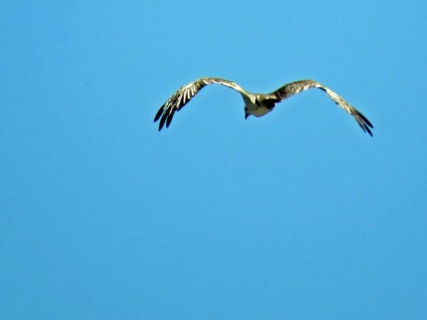 osprey goes fishing Florida, Sand Key