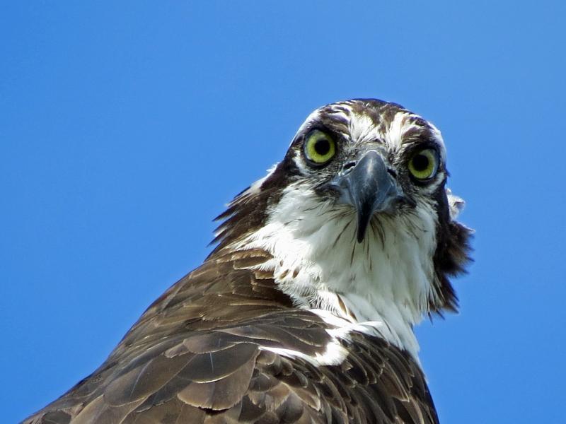 papa osprey portrait
