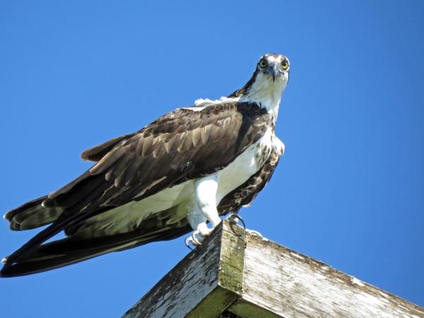 papa osprey saying hi to tiny