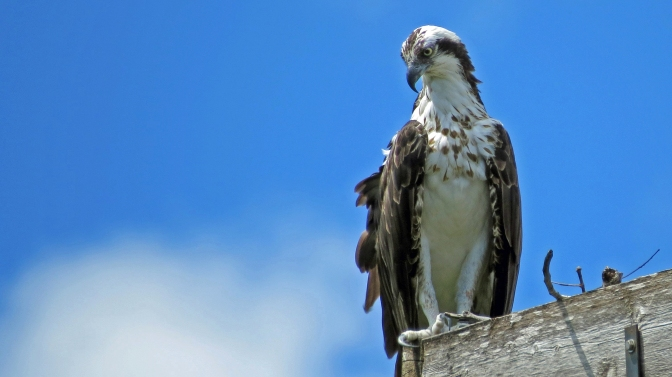 papa osprey  scanning the grounds