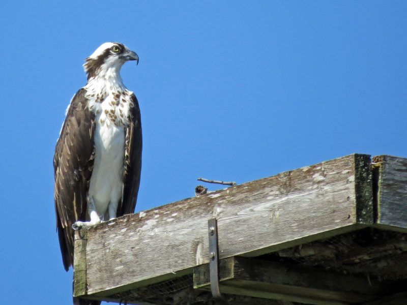 papa osprey watching the sky 2