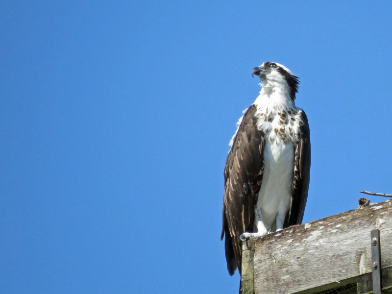 osprey watching the sky
