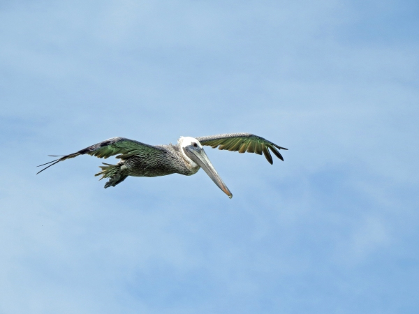 pelican before the dive