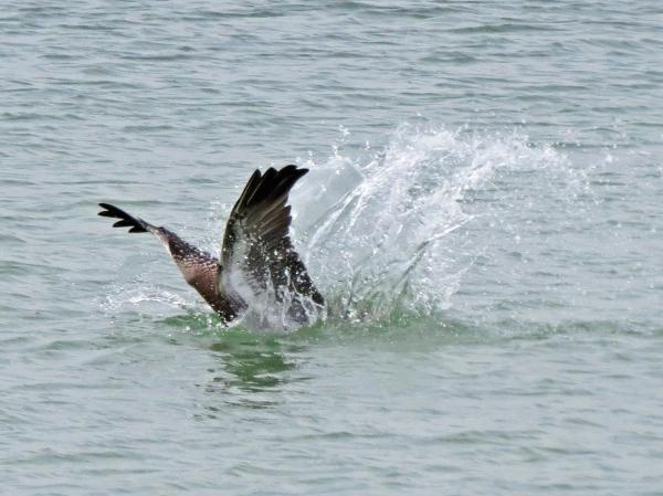 pelican dive cc