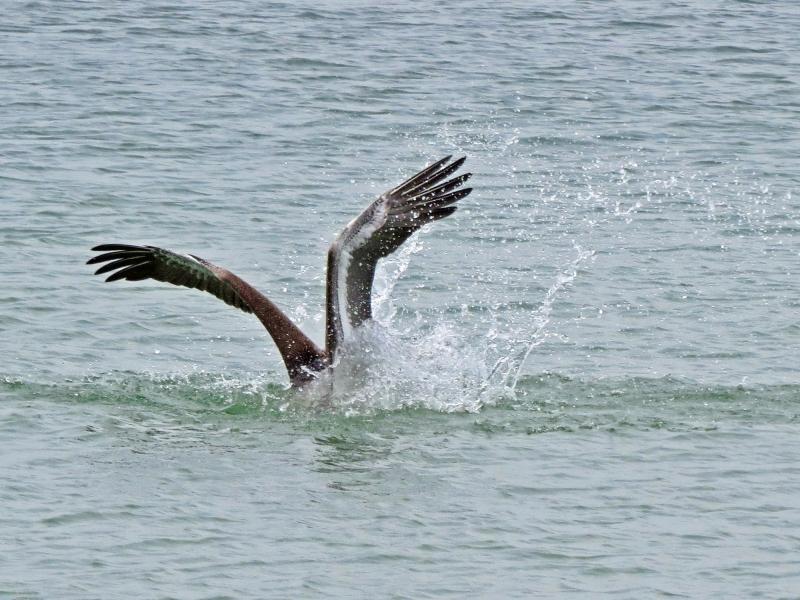 pelican dive dd