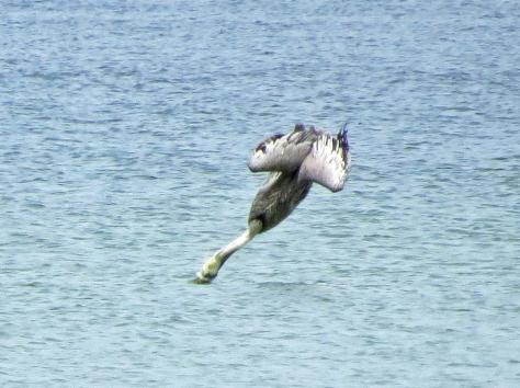 pelican dive  style 33