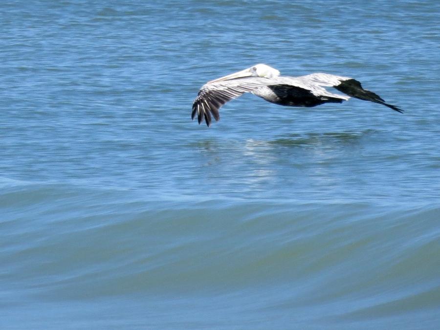 pelican flyinng low, Florida, Sand Key