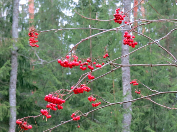 Rowan-berries in the forest...