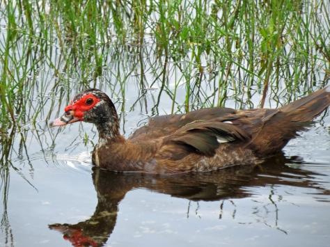 muscovy duck Florida, Sand Key