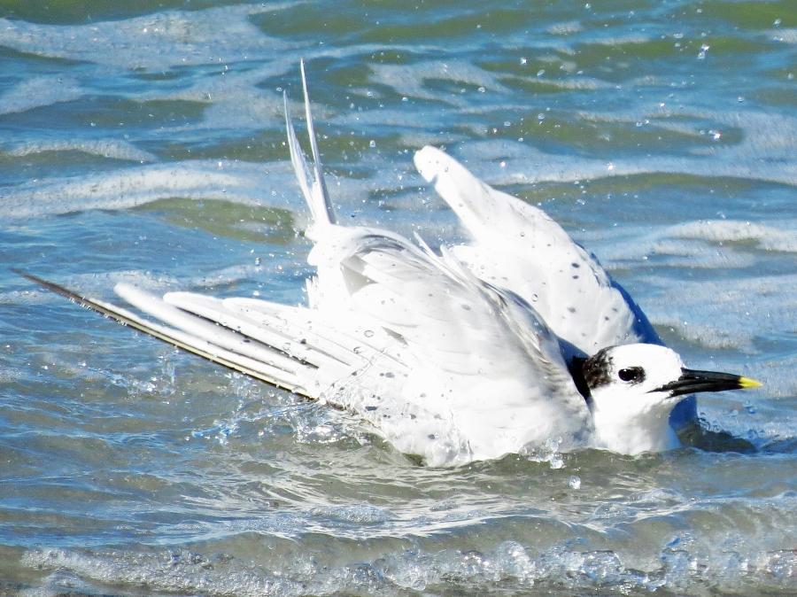 sandwich tern bathing 2