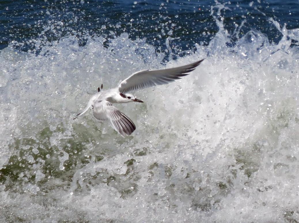 sandwich tern flying in the surf