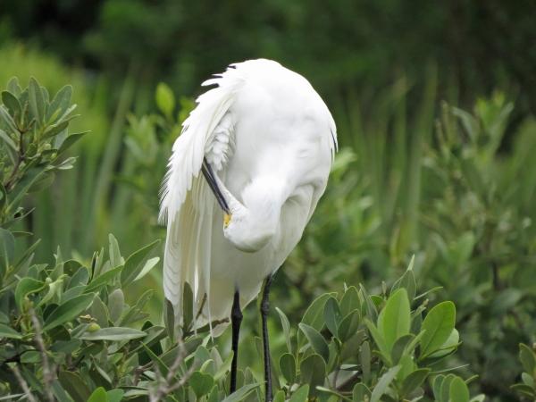 snowy egret grooming