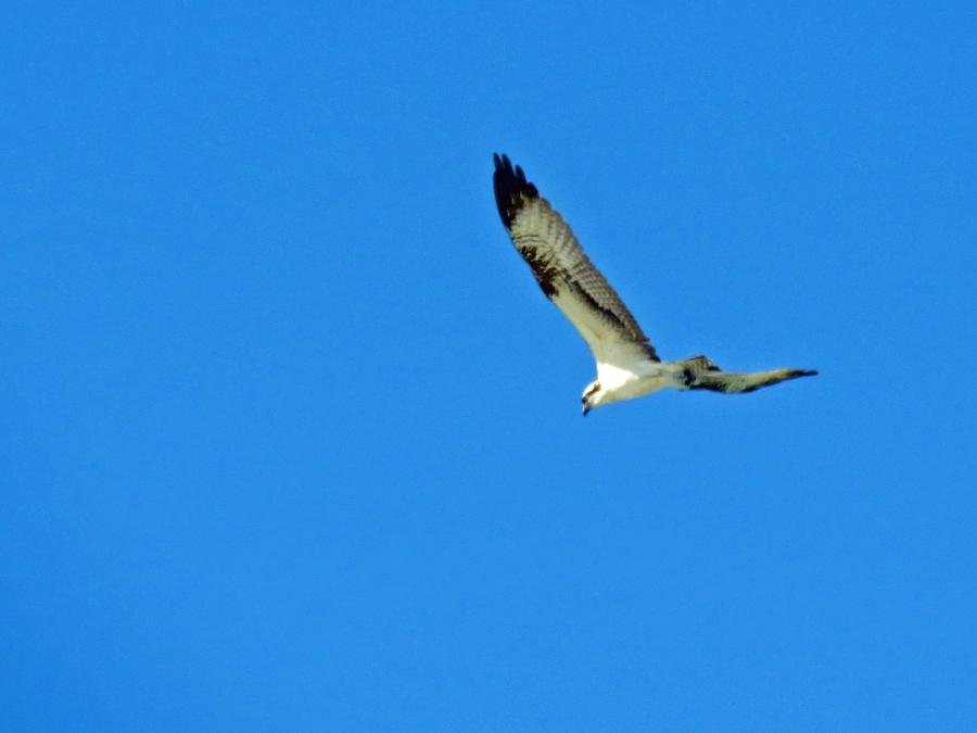 osprey fishing, Florida