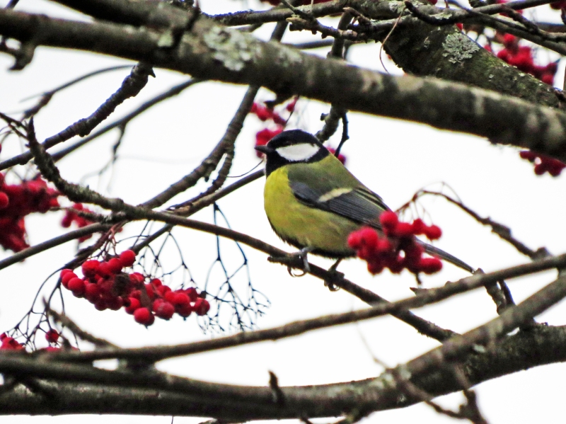 The Great Tit 2