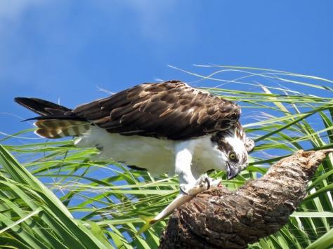 Stanley, the second Osprey, eats breakfast on the dead palm trunk...