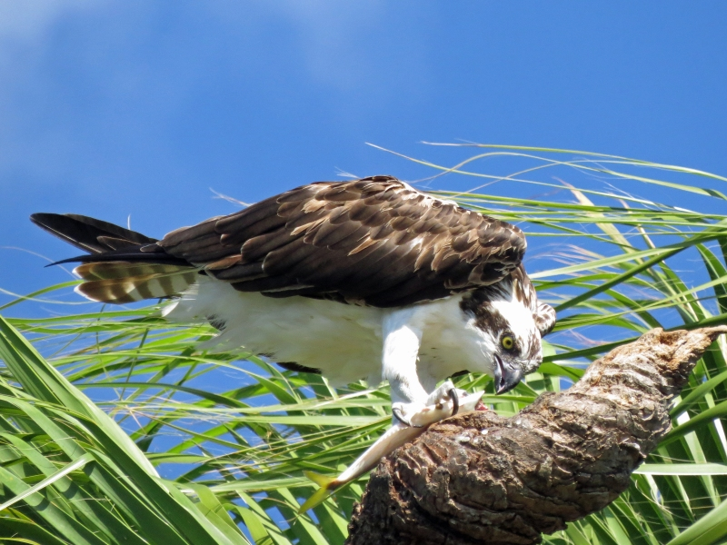 Stanley, the second Osprey, eats breakfast on the dead palm trunk...