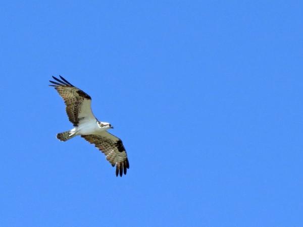 third osprey flying 6
