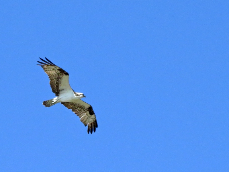 third osprey flying 6