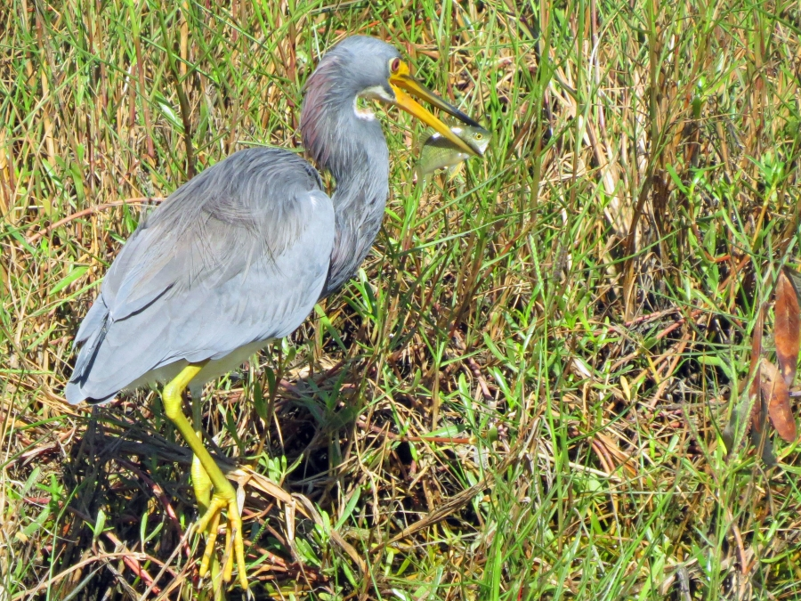 tricolored heron caught a fish