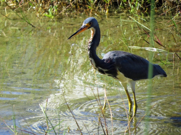 tricolored heron Florida, Sand Key
