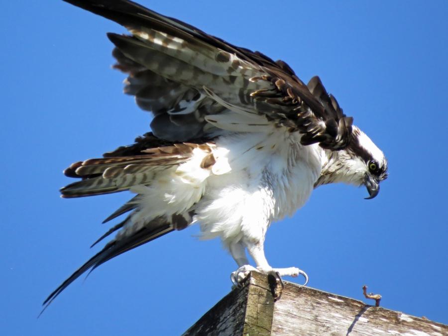 wet papa osprey returns from ocean