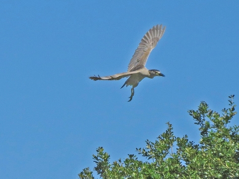 A juvenile Night Heron about to land...