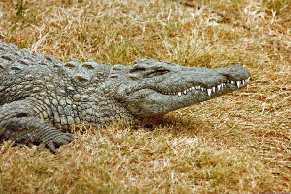 african crocodile 3