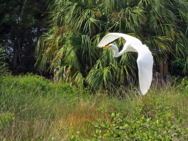Great Egret flying in to the salt marsh of Sand Key Park, FL
