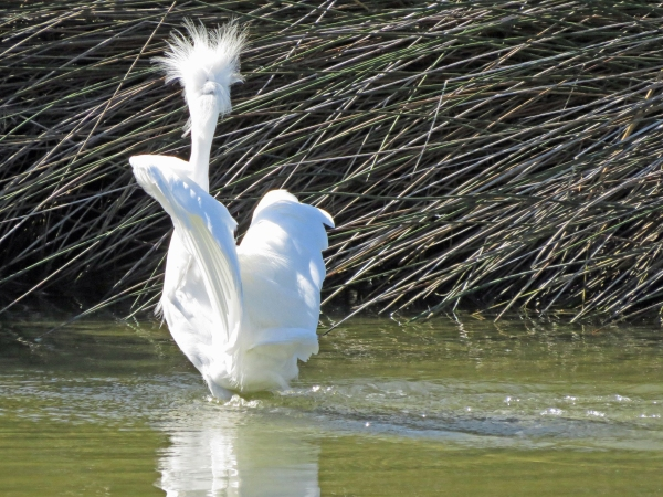 A snowy egret is angry at the salt marsh of Sand Key Park