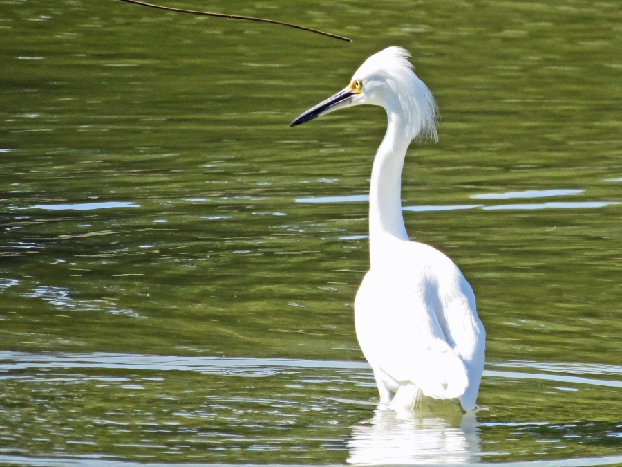 angry snowy egret in Sand Key Park salt marsh
