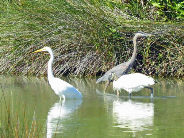 egret and blue heron and wood stork in sand key park clearwater FL