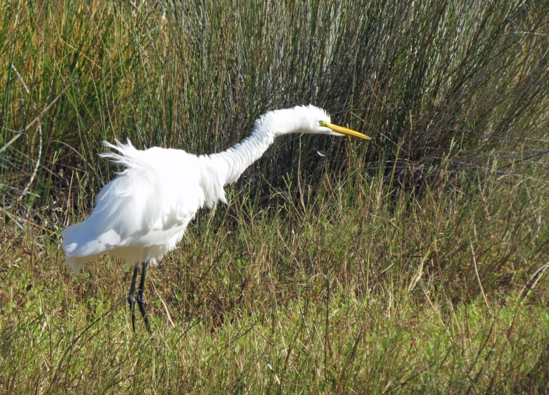 A great egret doing the doggy shake sand key park clearwater fl