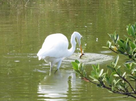 great egret fishing in Sand Key Park clearwater FL