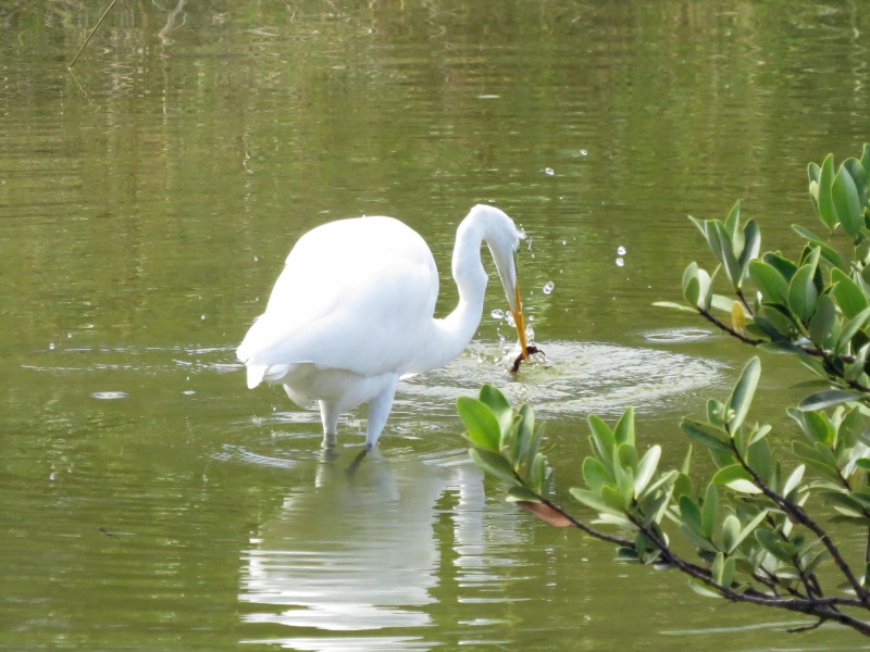 great egret fishing in Sand Key Park clearwater FL