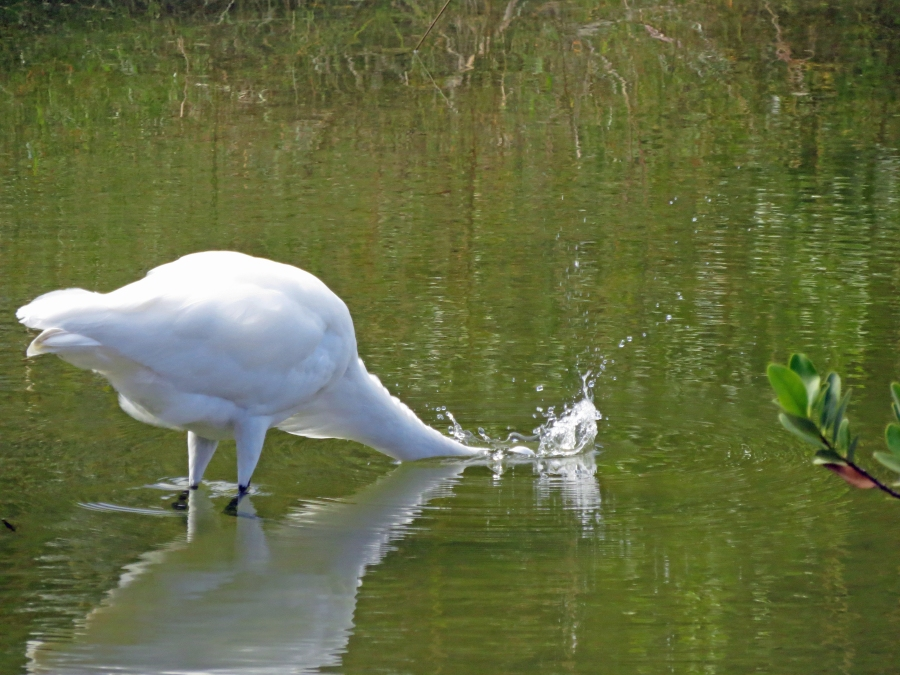 great egret fishing in Sand Key Park FL