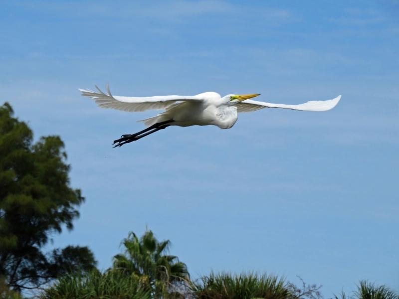 great egret flying sand key park clearwater fl