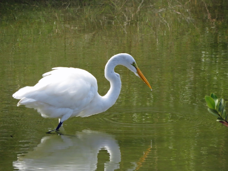 great egret hunting in Sand Key Park FL