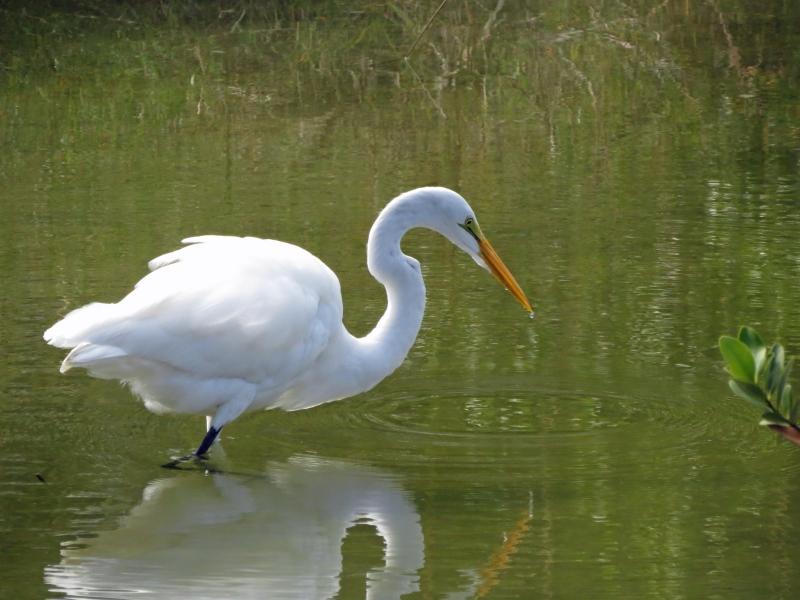 great egret hunting in Sand Key Park FL