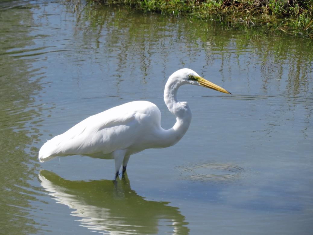 B great egret i salt marsh