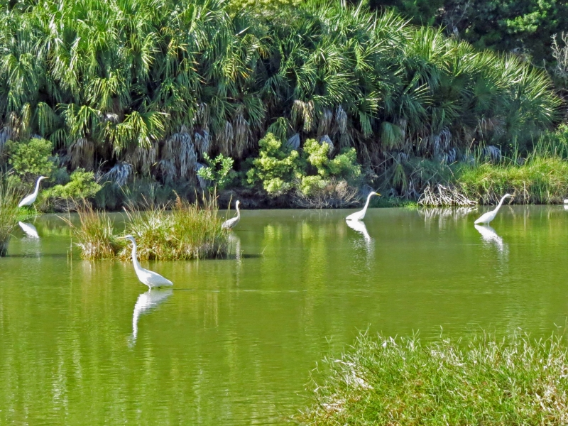 great egrets in Sand Key Park Clearwater FL