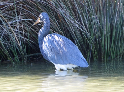 Tri-colored Heron in sand key park clearwater fl