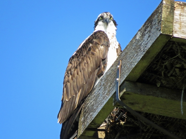 male osprey in sand key park clearwater FL