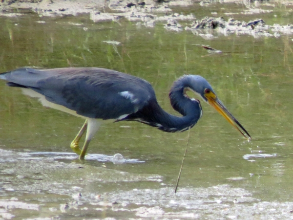 tricolored heron hunting in Sand Key Park Clearwater FL