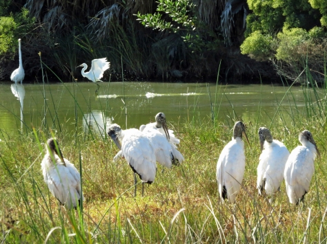 wood storks and egrets in Sand key Park Clearwater FL