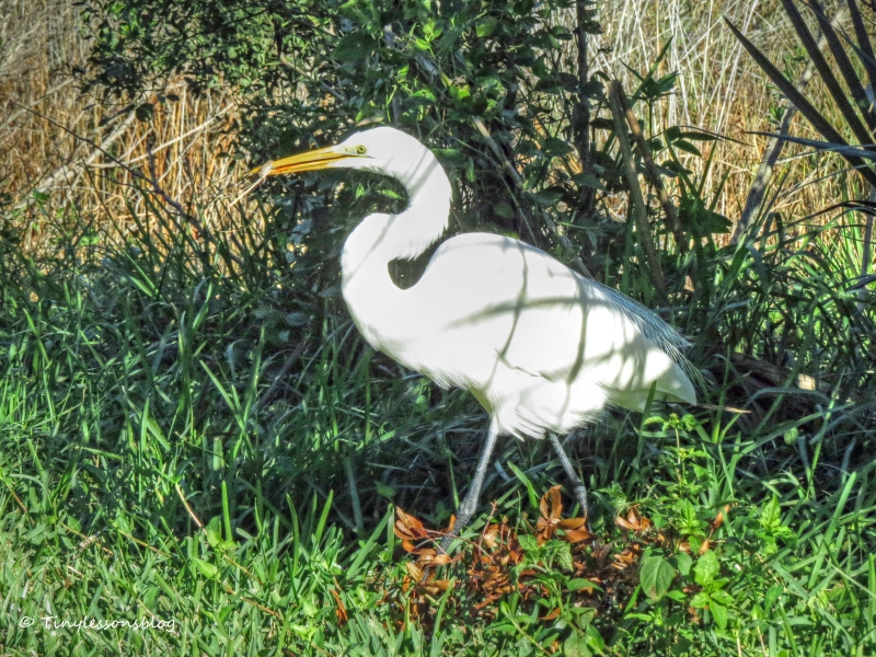 great egret catches a frog nov 29