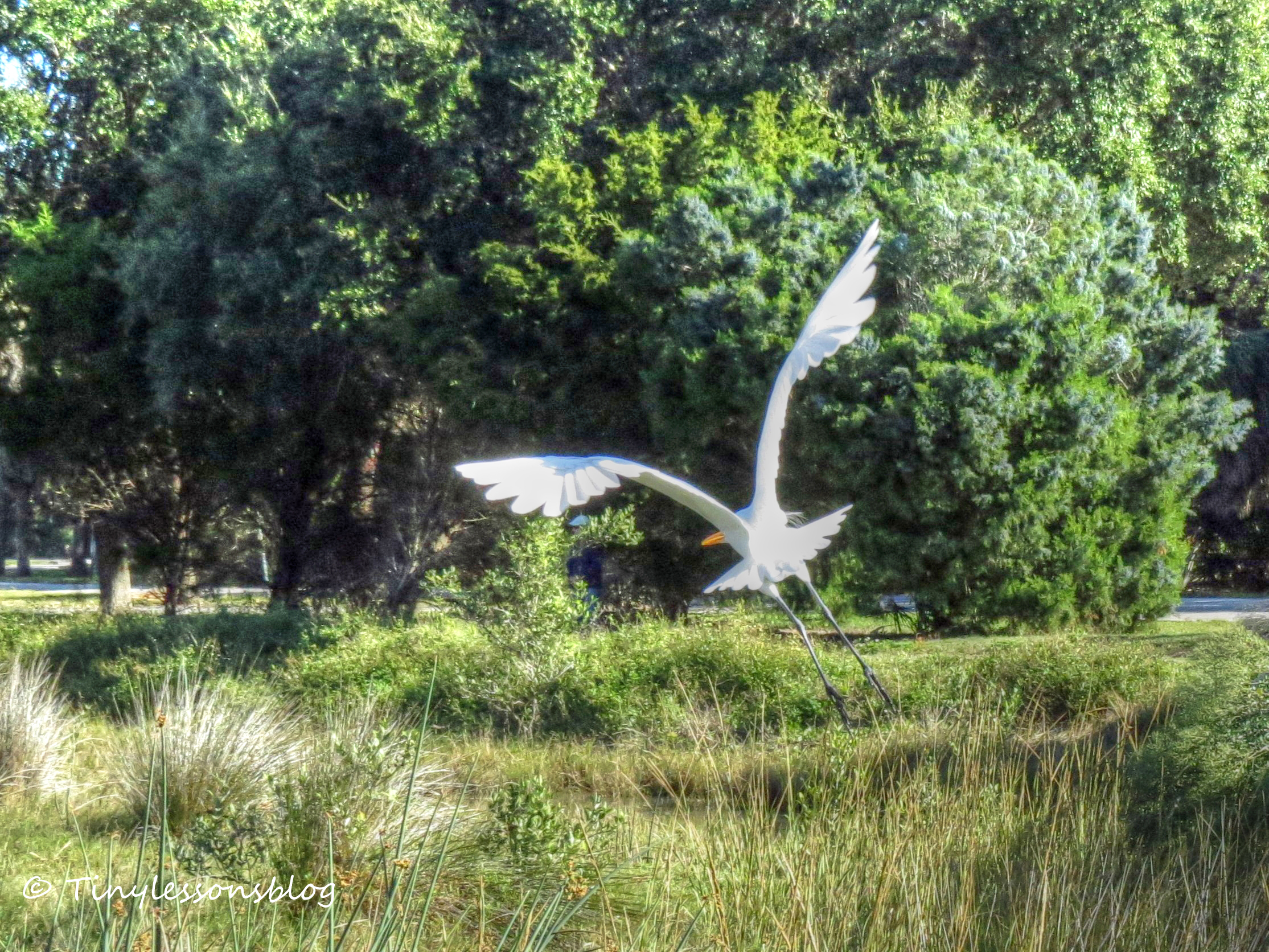 great egret flying 3 Nov 29