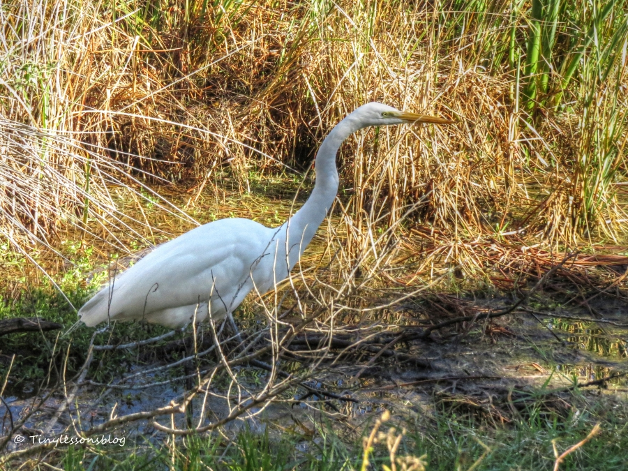 Great Egret hunting in the marsh nov 29