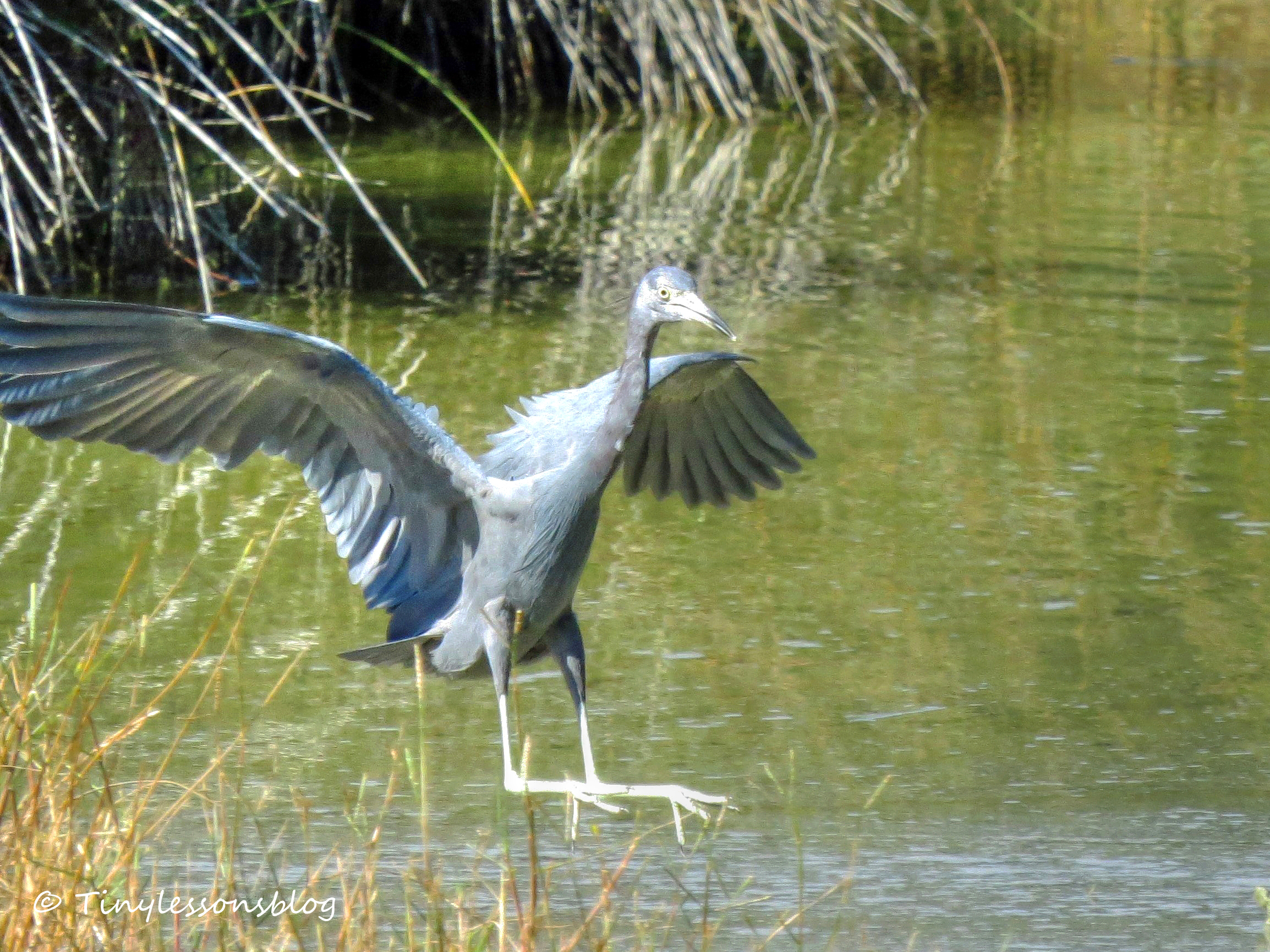 little blue heron landing Nov